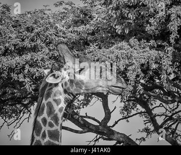 Closeup facial portrait of a Giraffe in Southern African savanna - Stock Photo
