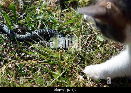 Domestic cat hunting and killing adder snake. - Stock Photo