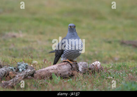 Close-up of cuckoo bird (Cuculus canorus) in Surrey, UK - Stock Photo