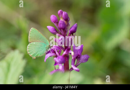 Green hairstreak butterfly (Callophrys rubi) nectaring on an early purple orchid (Orchis mascula) at Noar Hill in - Stock Photo