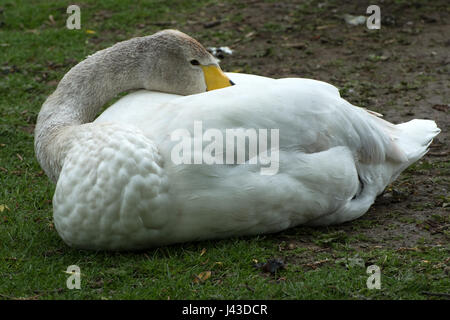 Head of juvenile Whooper swan - Stock Photo