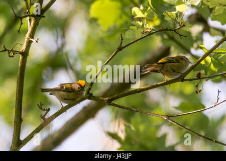 Pair of goldcrests (Regulus regulus) on branch. Britain's smallest bird, in the family Sylviidae, with male displaying - Stock Photo
