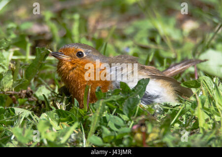 Robin (Erithacus rubecula) fledgling on ground. Juvenile bird in the family Turdidae, remaining motionless on ground - Stock Photo