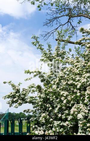 May blossom on the common hawthorn, Crataegus monogyna. - Stock Photo