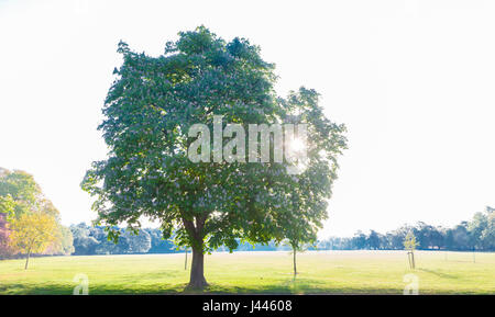 Abington Park, Northampton, UK. Weather. 10th May 2017. Horse Chestnut. Aesculus hippocastanum (Hippocastanaceae) - Stock Photo