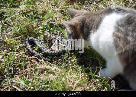 Cat hunting and killing adder snake (vipera berus) - Stock Photo