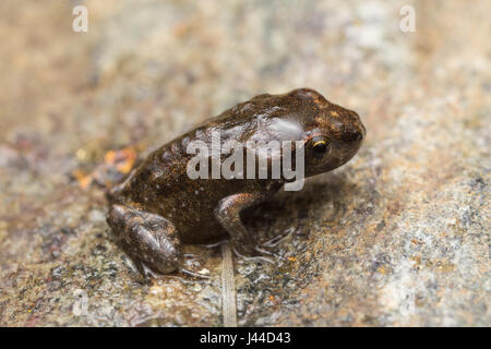 A tiny frog, 1cm in size, from recent metamorphosis, a few days, from tadpole to frog - Stock Photo