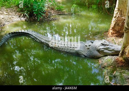 Saltwater Crocodile (Crocodylus porosus) sunbathing at Hartley's Crocodile Adventures, near Port Douglas, Far North - Stock Photo