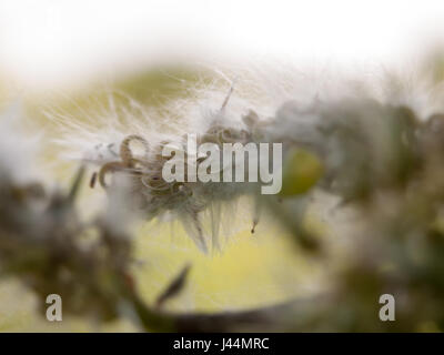 fluffy white details and texture on a tree outside macro close up late afternoon spring cool - Stock Photo