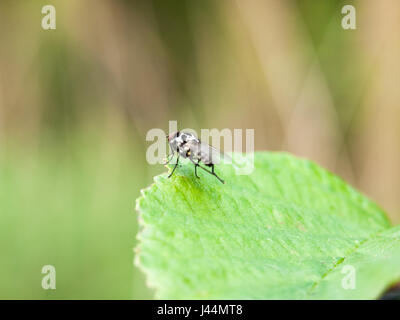 a fly resting at the edge of a leaf outside in spring meadow in late afternoon light insect bug ugly - Stock Photo