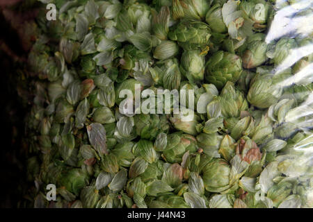 Picture by Tim Cuff - 26 October 2016 - Fresh, bagged hops at Plant and Food, Motueka, Nelson, New Zealand: - Stock Photo