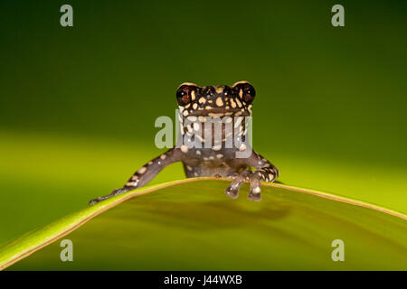 photo of a Tukeit hill frog resting on a green leaf against a green background