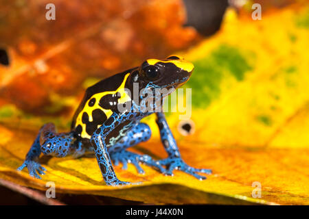 photo of the Dyeing dart frog on the forest floor between coloured leafs - Stock Photo