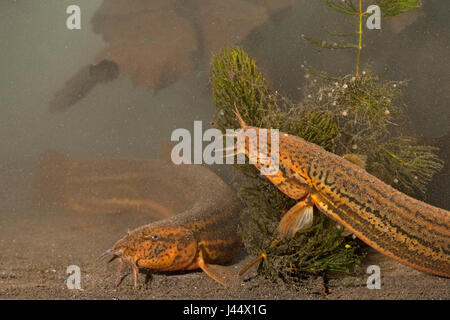 photo of two wheaterfish lying on a muddy bottom - Stock Photo