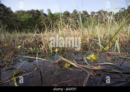 overview of a choir of male poolfrogs in early spring, males of the pool frog turn yellow during breeding season - Stock Photo