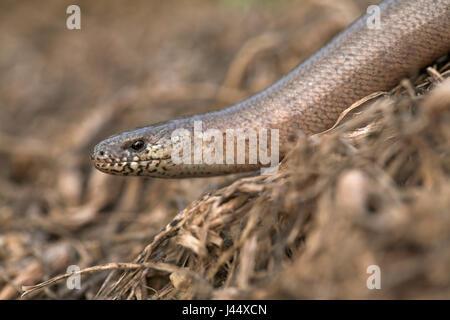 male slow worm - Stock Photo