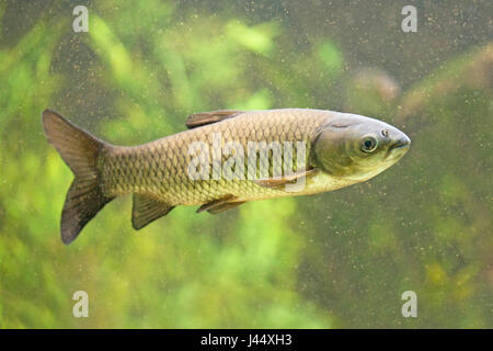 photo of a swimming grass carp against a green background - Stock Photo