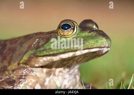 portrait of a North American Bullfrog - Stock Photo