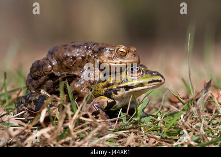 photo of a mistake mating bewteen a common toad and green frog - Stock Photo