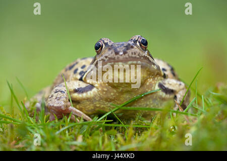 photo of a common frog in green grass with a blurred green foreground and background - Stock Photo