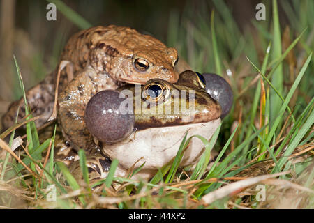 photo of a common toad on a marsh frog - Stock Photo