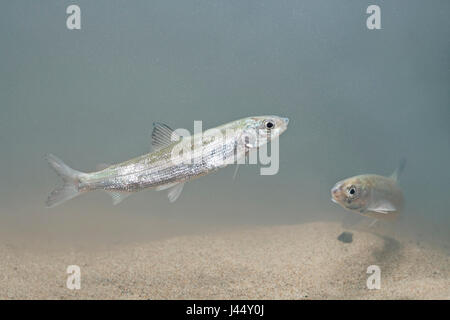 photo of two houting from the IJsselmeer lake in the Netherlands - Stock Photo