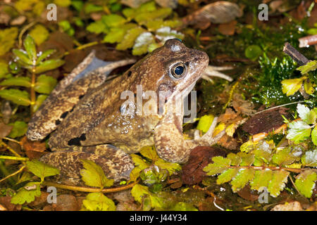 male common frog in a garden pond at night - Stock Photo