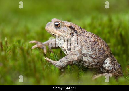 gewone pad; bufo bufo; common toad; common european toad; crapaud commun; erdkröte; bufonidae; pad; padden; toad; - Stock Photo