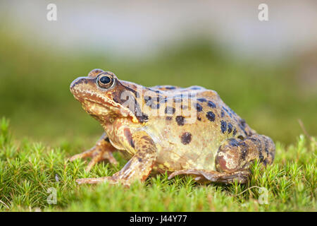 photo of a common frog on moss