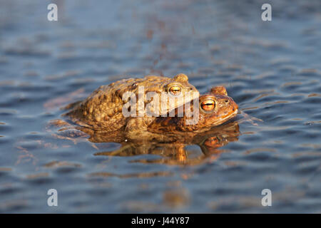 photo of a pair of common toads between frog spawn - Stock Photo