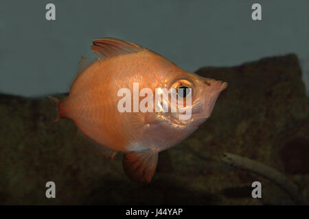 picture of a swimming boarfish - Stock Photo