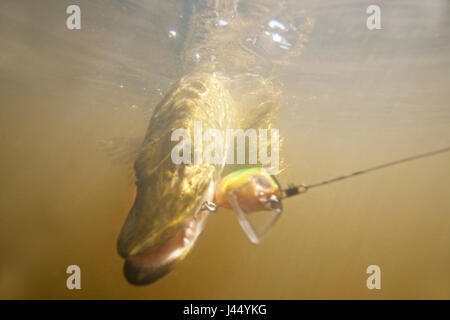 underwater photo of a pike caught on a lure - Stock Photo