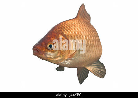 rendered photo of a gibel carp against a white background - Stock Photo