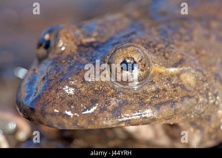 Photo of a Maluti river frog, it has an umbraculum in its eye that protects the eye from UV radiation and is an - Stock Photo