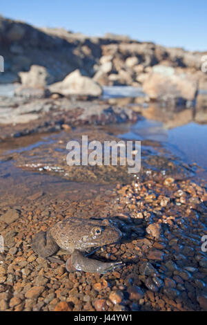 photo of a Maluti river frog in a partly frozen mountain stream - Stock Photo