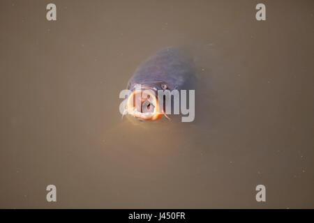carp looking for food at the surface - Stock Photo