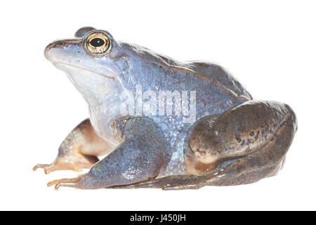 Blue male moor frog isolated against a white background - Stock Photo