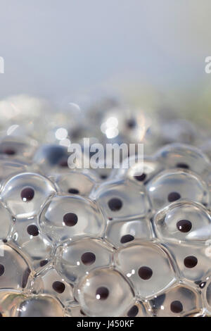 Frog spawn from common frog - Stock Photo