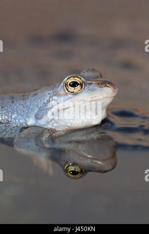 portrait of a blue male moor frog - Stock Photo