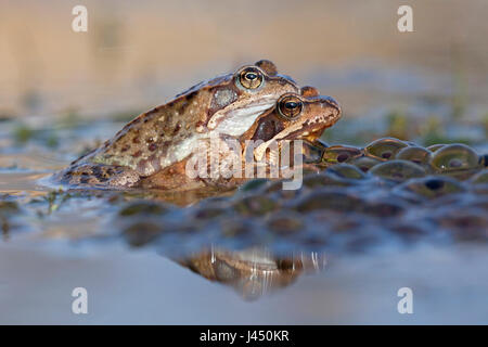 pair common frogs in the water between frog spawn - Stock Photo