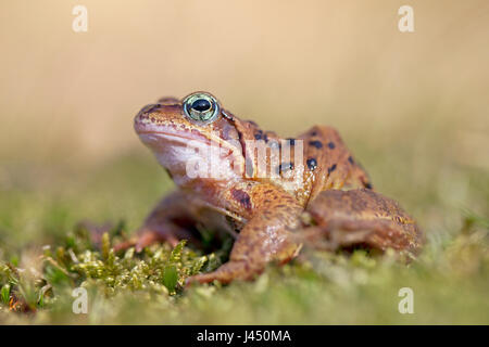 photo of a common frog - Stock Photo