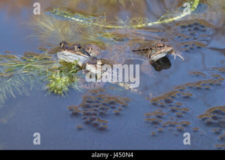common frogs between frog spawn during mating - Stock Photo