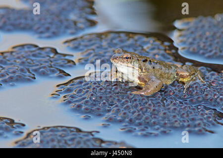 common frog male on top of frog spawn during mating - Stock Photo