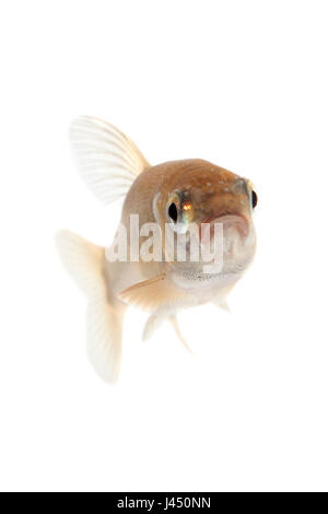 Minnow isolated against a white background - Stock Photo