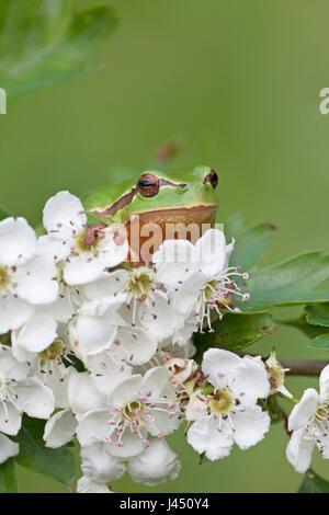 common tree frog on flowering hawthorn - Stock Photo