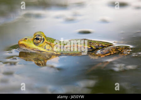 Edible frog in the water - Stock Photo