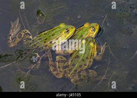 three Edible frogs in the water - Stock Photo