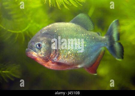 red-bellied piranha between green plants - Stock Photo