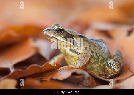 common frog between autumn leaves - Stock Photo