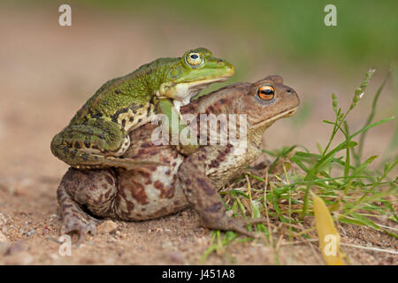 mismatch between pool frog male (on top) and common toad female - Stock Photo